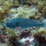 bezz adult parrotfish